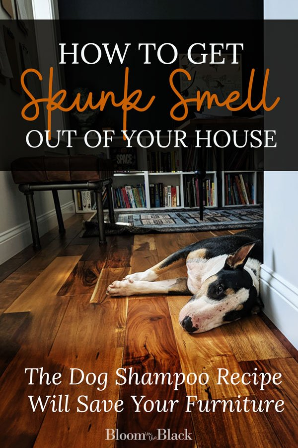 Has your dog been skunked? How to remove skunk smell from your home. Dog shampoo recipe included.